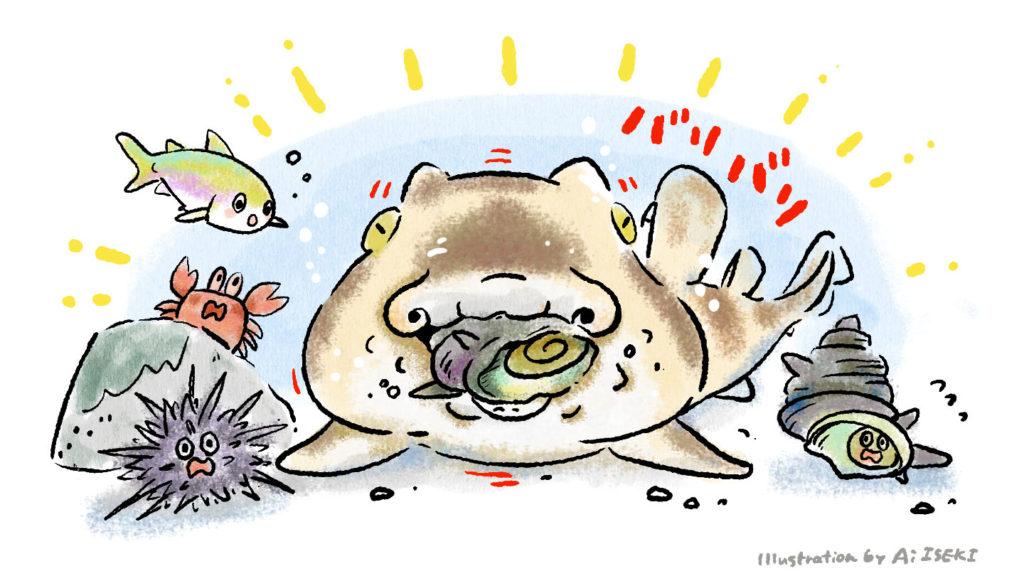 サザエを食べるネコザメ。サザエワリの別名も。