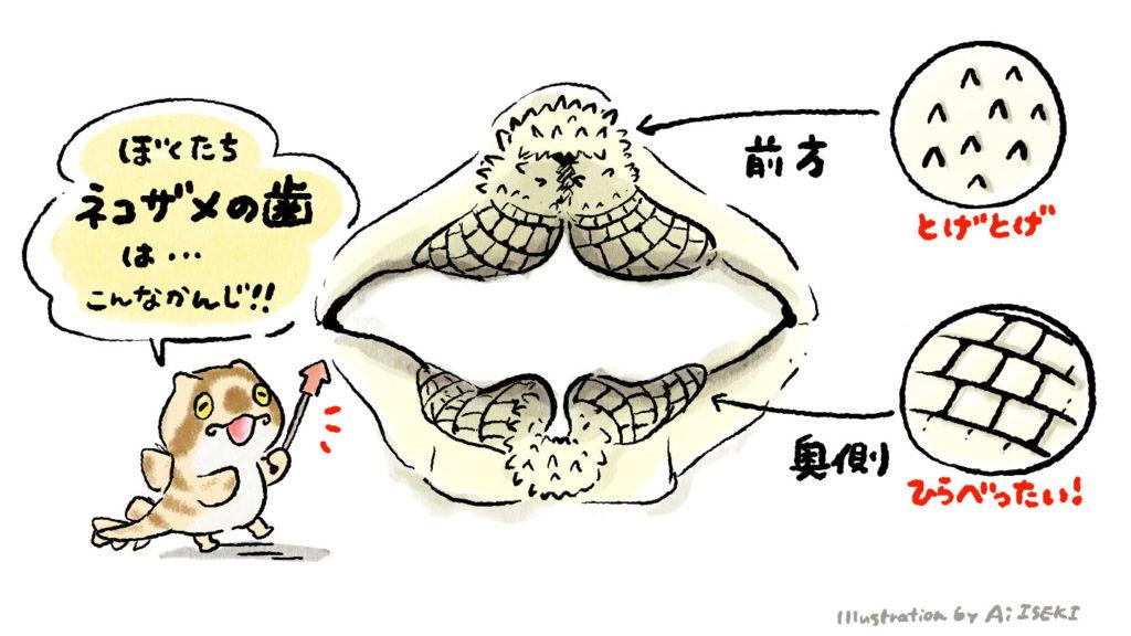 ネコザメの歯。前方と奥側で形状が異なります。