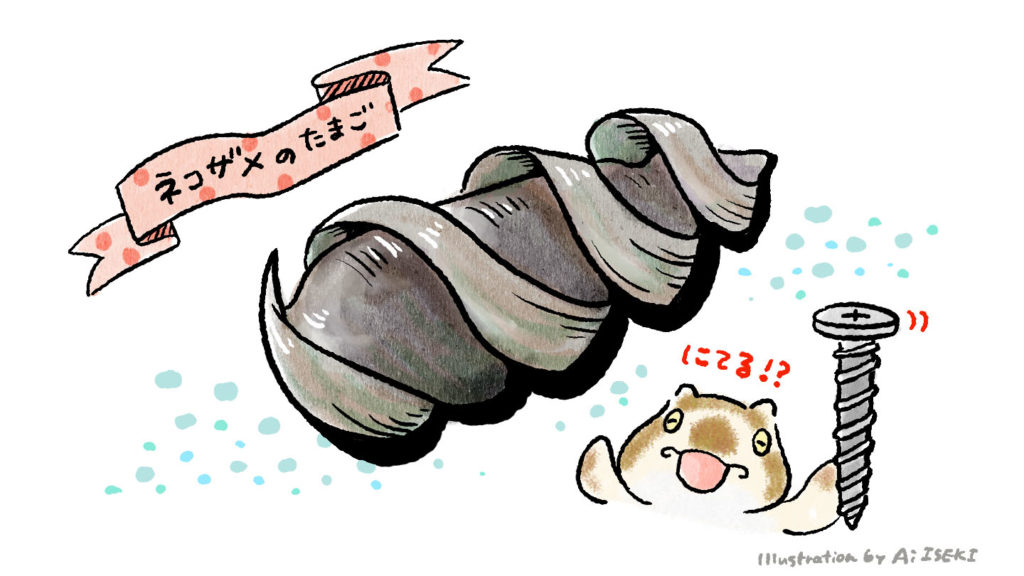 ネコザメの卵。ドリルのような形をしています。